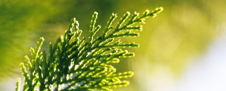 Een overzicht van wintergroene planten